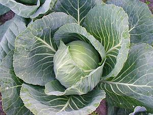 Cabbage is cheap, versatile and a great diet option