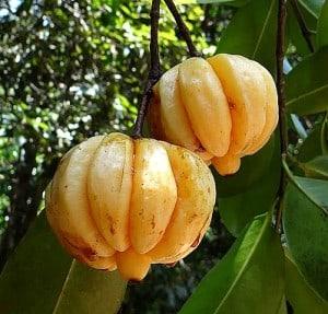 Garcinia Cambogia is rich in healthy nutrients including niacin, riboflavin, thiamine, iron, phosphorus and calcium.