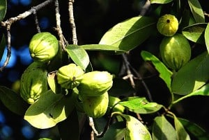 Garcinia Cambogia taken in the correct doses, in can have a beneficial effect, so may be worth a try to help speed up your weight loss.